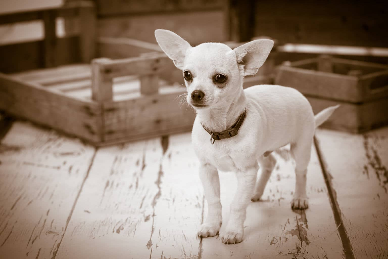 Chihuahua Dog Photography, bournemouth photo studio