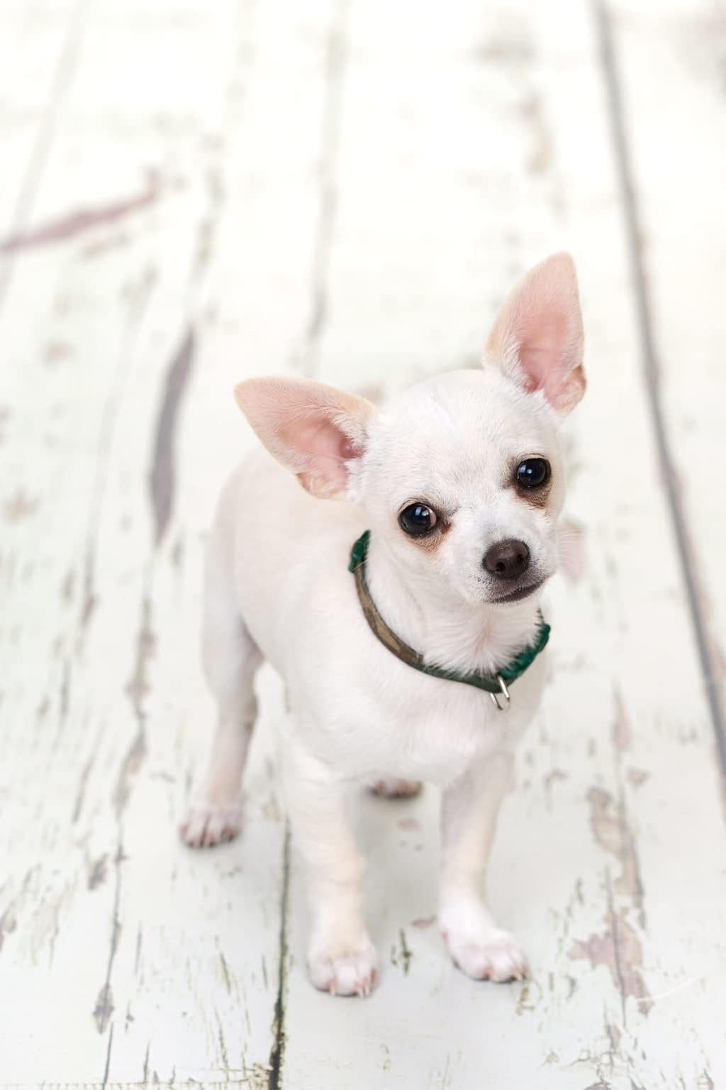 Chihuahua Dog Portrait, bournemouth photo studio